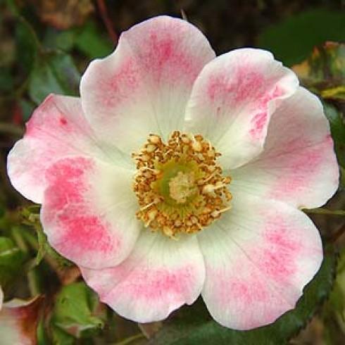 rose warwickshire bodendecker rosen online kaufen bei. Black Bedroom Furniture Sets. Home Design Ideas
