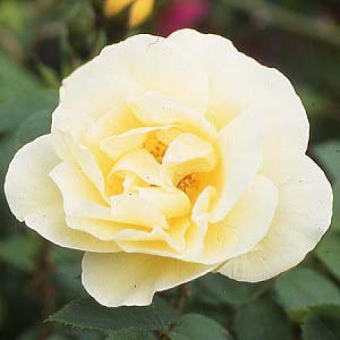 yellow dagmar hastrup bodendecker rosen. Black Bedroom Furniture Sets. Home Design Ideas