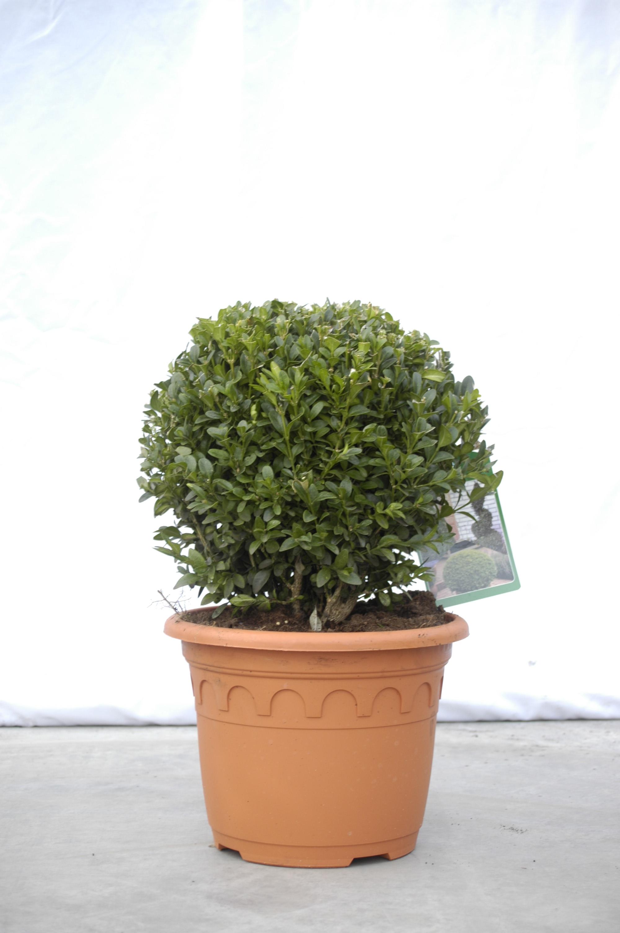 Buxkugel Online Kaufen Bux Wwwschmid Gartenpflanzende