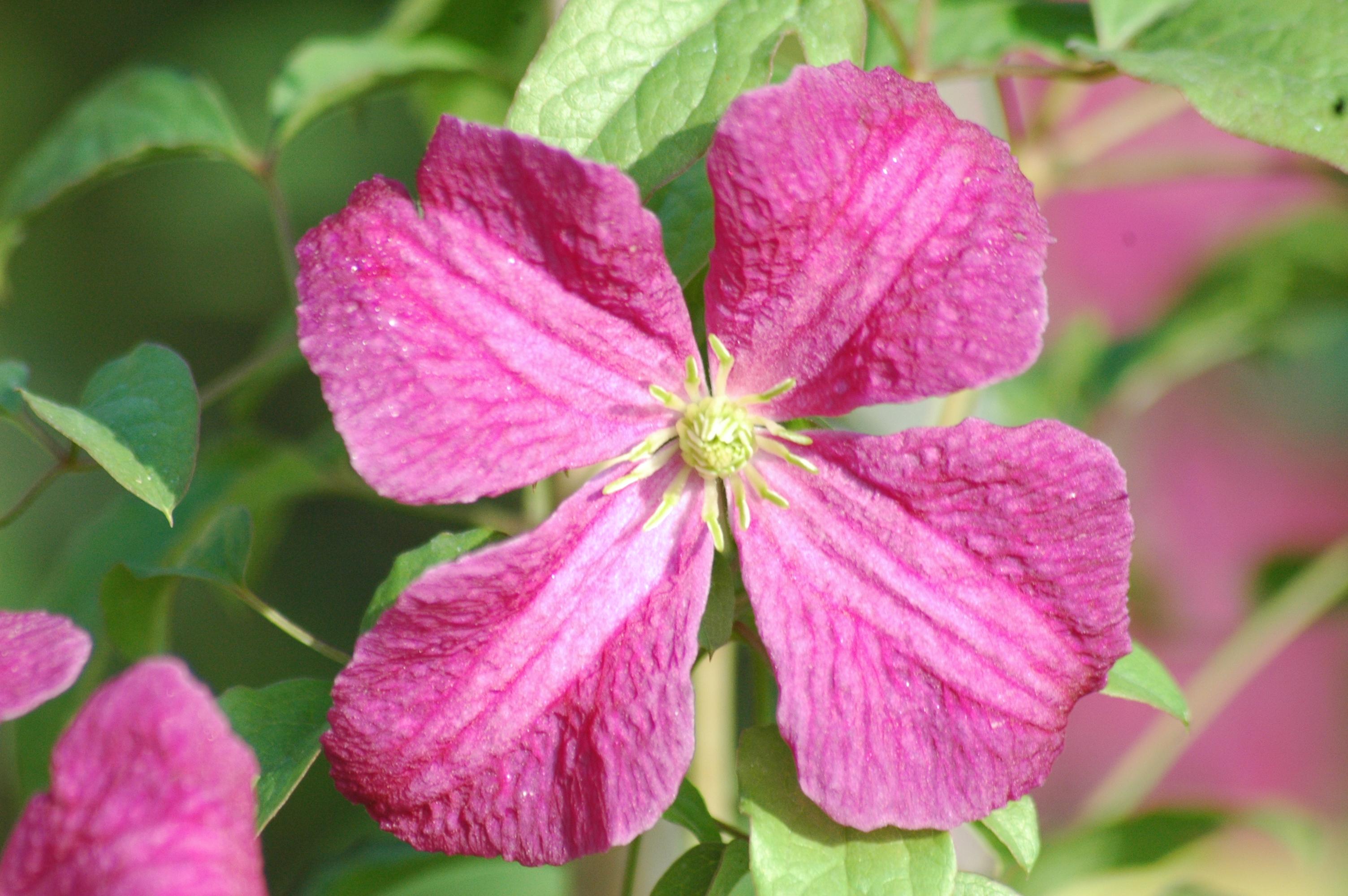 Clematis viticella 39 abundance 39 online kaufen for Gartenpflanzen versand