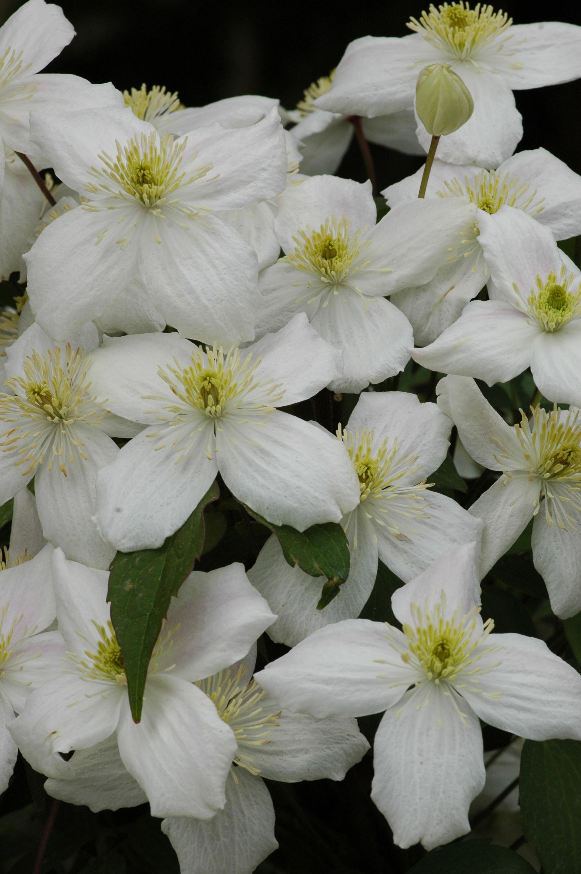 Clematis clematis montana 39 elten 39 online kaufen www for Gartenpflanzen versand