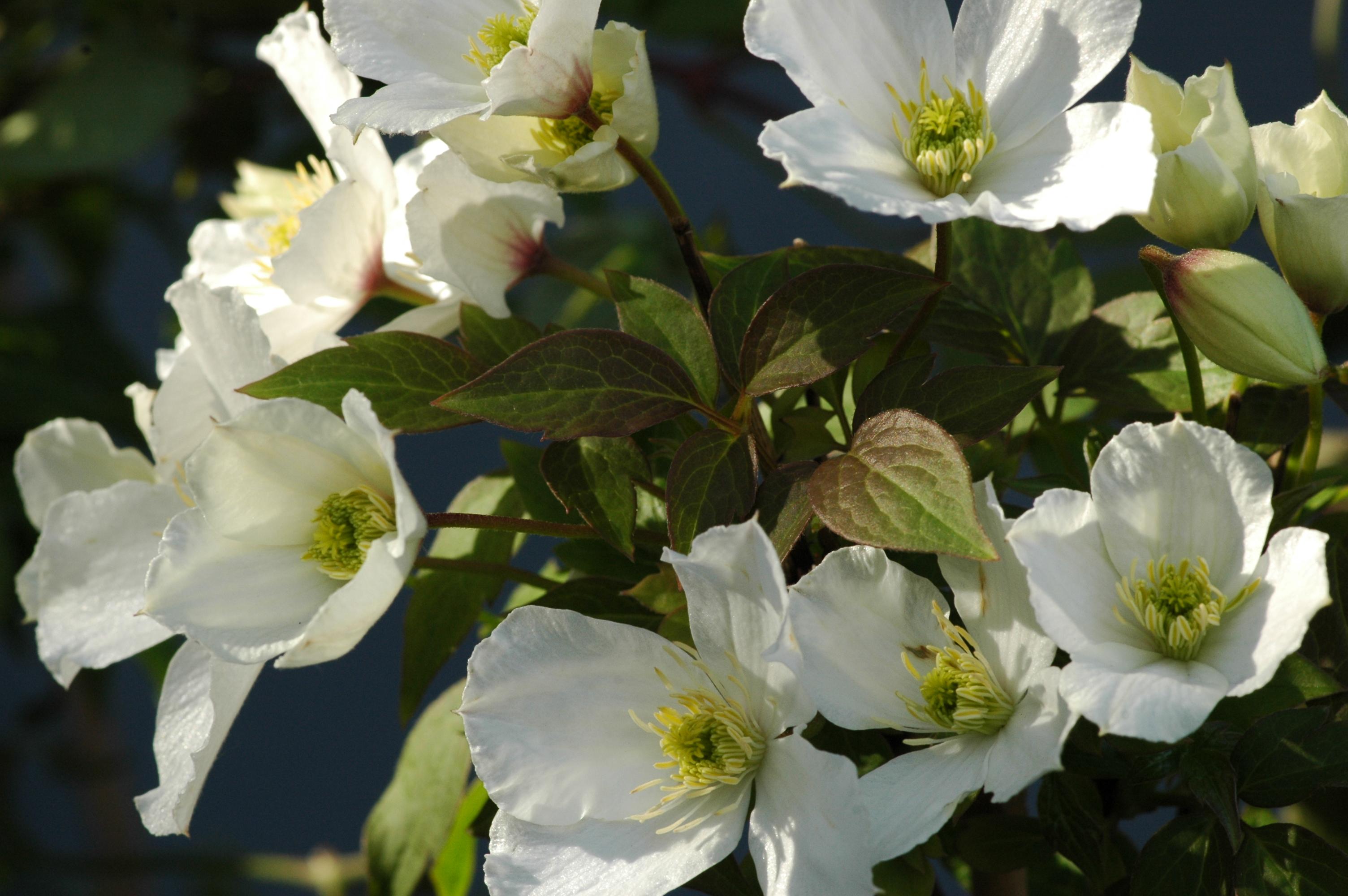 Clematis clematis montana 39 grandiflora 39 online kaufen for Gartenpflanzen versand