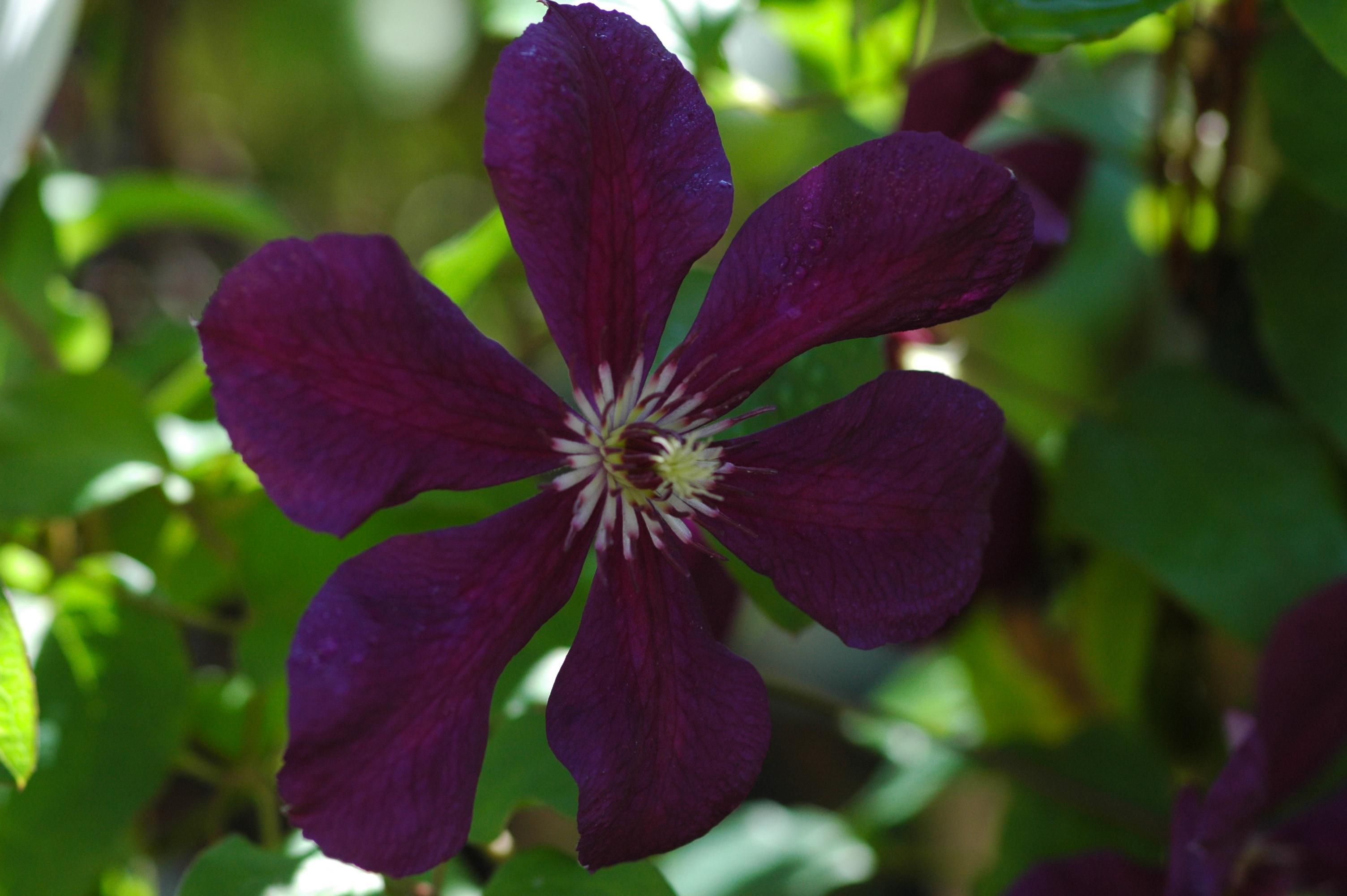 Clematis clematis 39 kiev 39 online kaufen for Gartenpflanzen versand