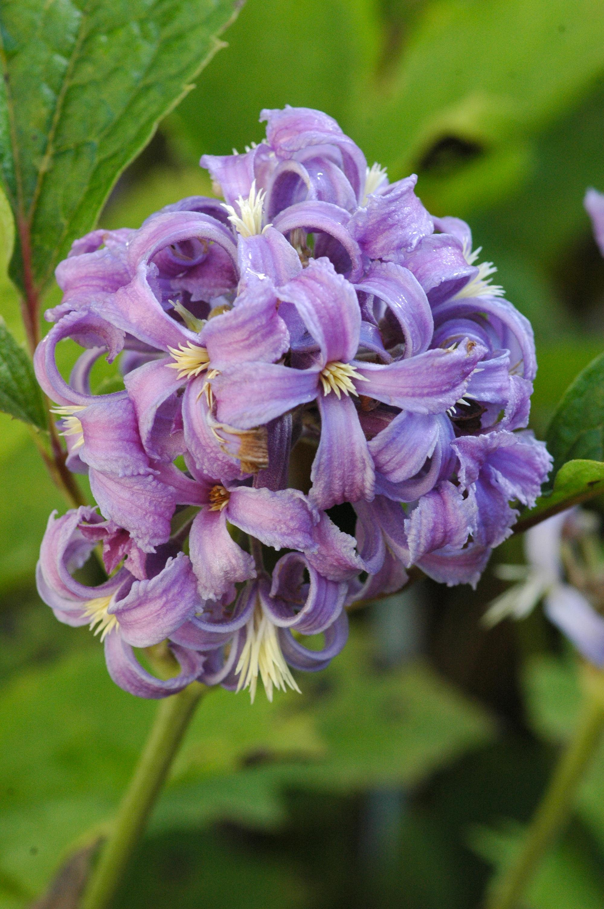 Clematis clematis 39 new love pbr pp 39 online kaufen www for Gartenpflanzen versand