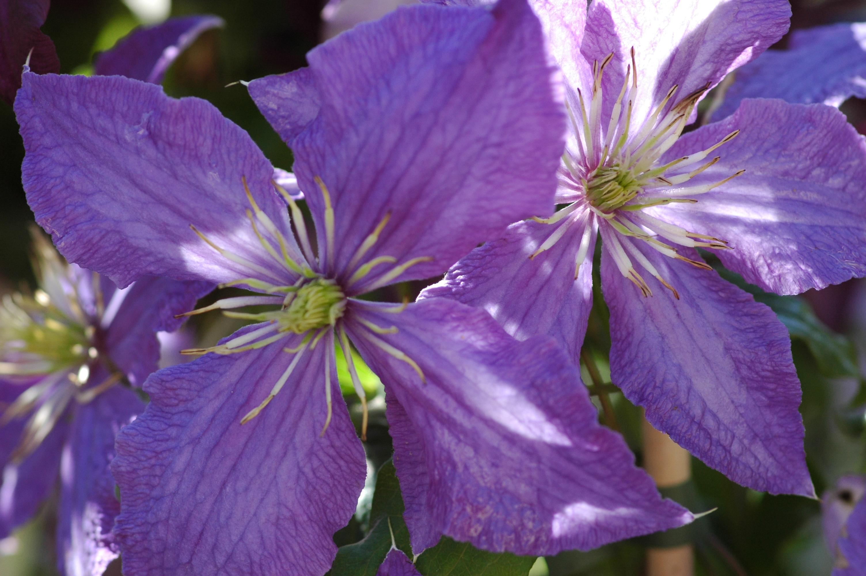 Clematis clematis 39 rhapsody 39 online kaufen for Gartenpflanzen versand