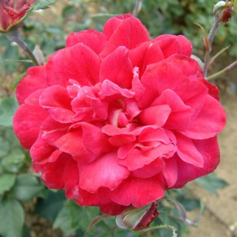 rose archduke charles rosen online kaufen bei schmid gartenpflanzen. Black Bedroom Furniture Sets. Home Design Ideas