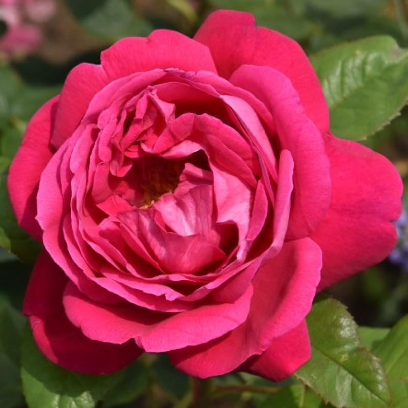 Rose captain hayward rosen online kaufen bei schmid for Gartenpflanzen versand