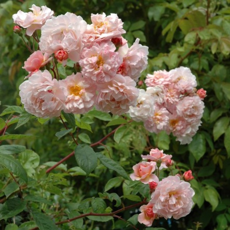 rose cornelia rosen online kaufen bei schmid gartenpflanzen. Black Bedroom Furniture Sets. Home Design Ideas