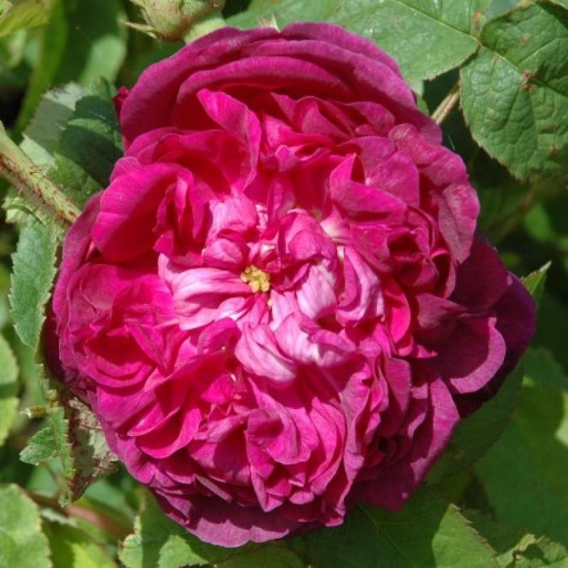 rose indigo rosen online kaufen bei schmid gartenpflanzen. Black Bedroom Furniture Sets. Home Design Ideas