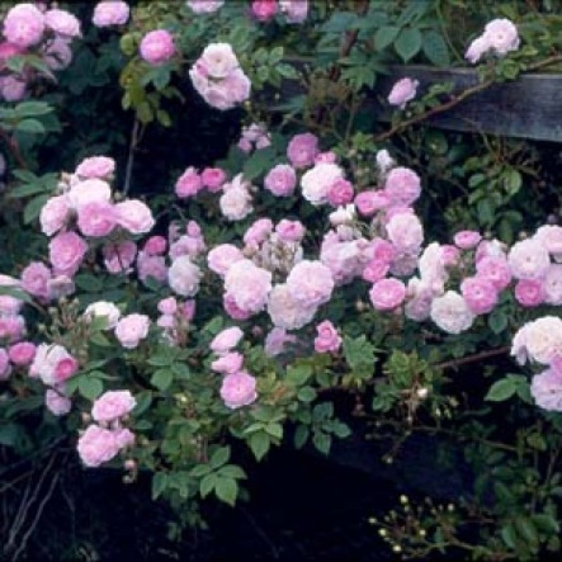rose laur davoust rosen online kaufen bei schmid. Black Bedroom Furniture Sets. Home Design Ideas