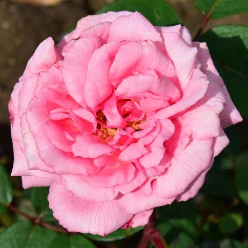 rose martha online kaufen rosa borbonica online kaufen. Black Bedroom Furniture Sets. Home Design Ideas