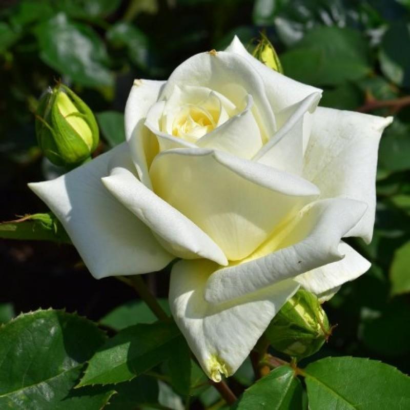 rose polar star rosen online kaufen bei schmid gartenpflanzen. Black Bedroom Furniture Sets. Home Design Ideas
