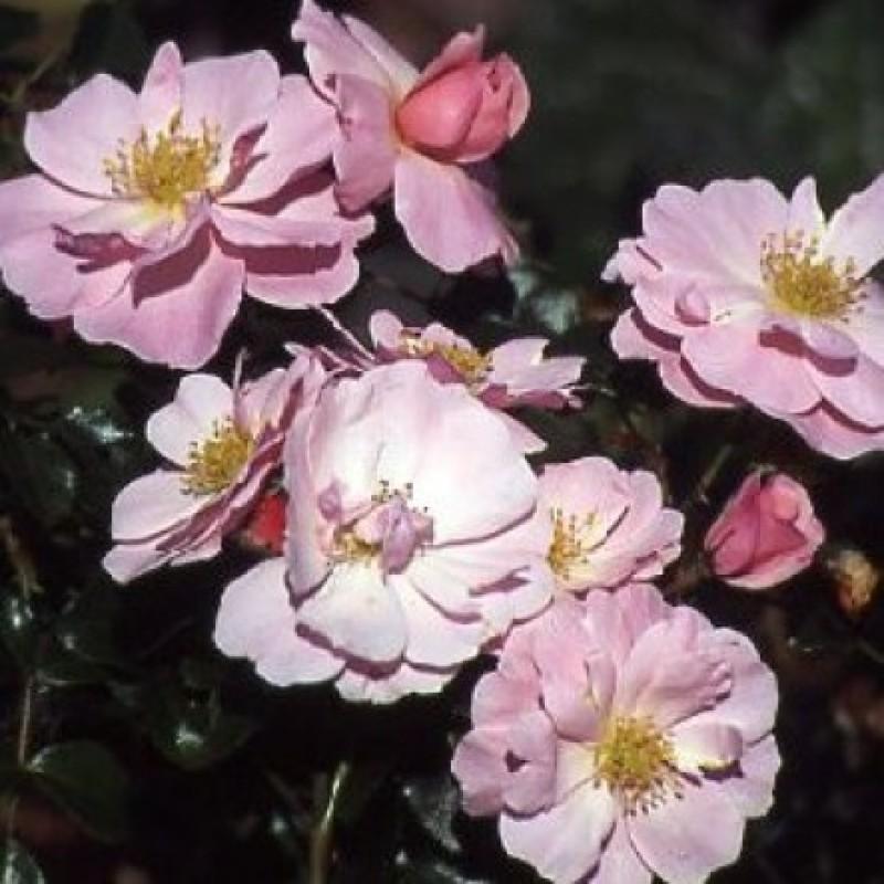 rose queen mother rosen online kaufen bei schmid gartenpflanzen. Black Bedroom Furniture Sets. Home Design Ideas