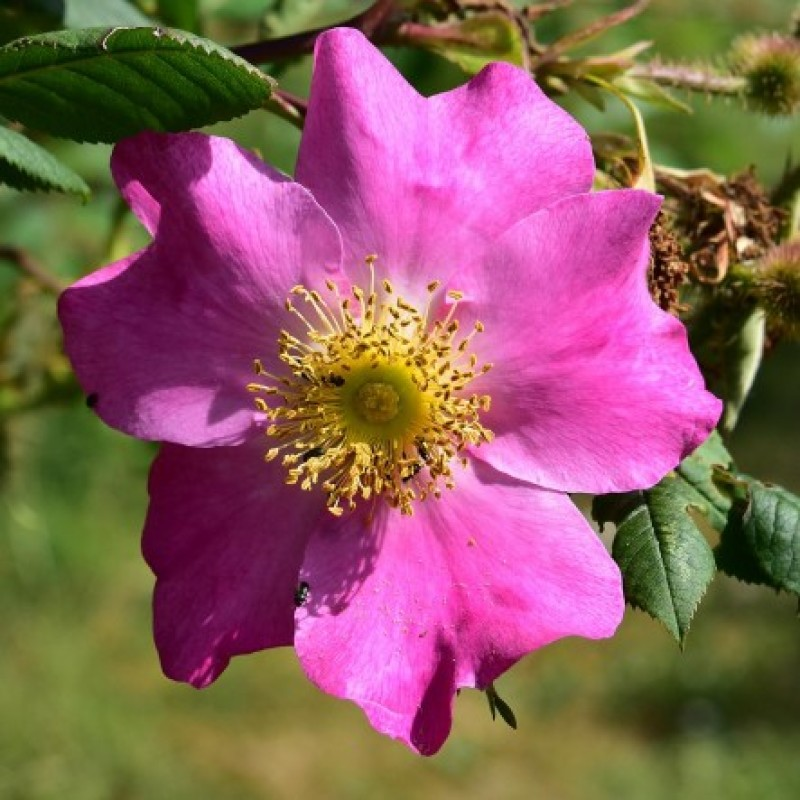 rose rosa x coryana rosen online kaufen bei schmid gartenpflanzen. Black Bedroom Furniture Sets. Home Design Ideas