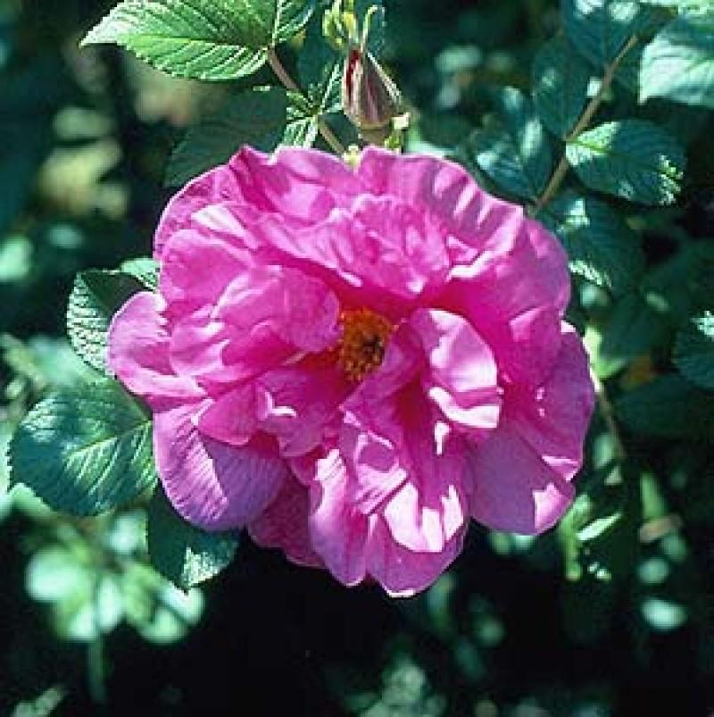 rose belle poitevine rosen online kaufen bei schmid gartenpflanzen. Black Bedroom Furniture Sets. Home Design Ideas
