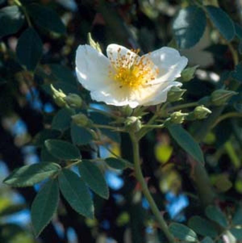 rose wickwar rosen online kaufen bei schmid gartenpflanzen. Black Bedroom Furniture Sets. Home Design Ideas