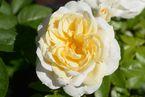 Rosier Lions-Rose