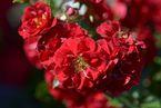 Rosier Fairy Red `92