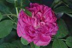 Rosier Rose de Resht