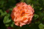 Rosier Orange Climber
