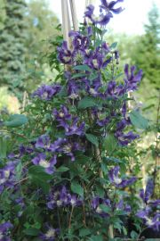 Clematis BLUE PIROUETTE 'Zobluepi' PBR