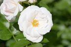 Rosier Aspirin-Rose