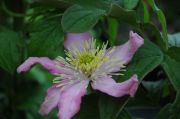 Clematis chrysocoma 'Continuity'