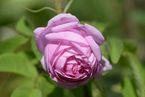 Rosier Tölzer Rose