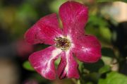 Clematis viticella 'Royal Velours'