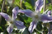 Clematis 'Star River'