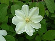 Clematis 'Mary-Claire'