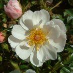 bodendecker rosen online kaufen rosen von peter beales. Black Bedroom Furniture Sets. Home Design Ideas