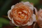 Rosier Ambridge Rose