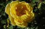 Rosier Persian Yellow