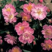 moosrosen rosa centifolia muscosa rosen von peter. Black Bedroom Furniture Sets. Home Design Ideas