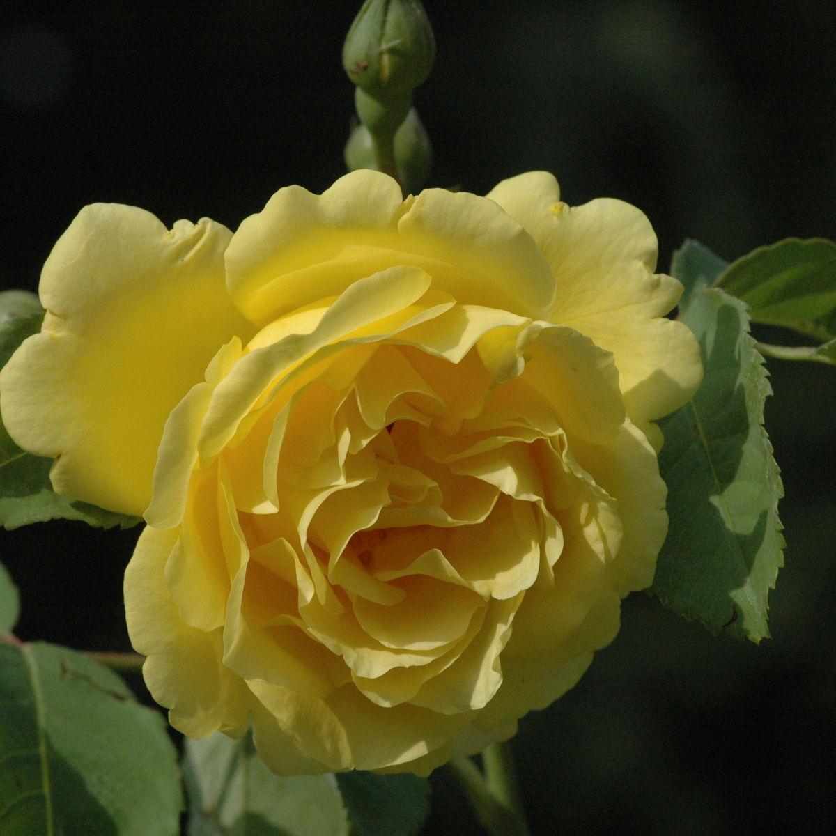 CDR-Rose Kletterrose Golden Gate ® korgolgat ® kordes 1995