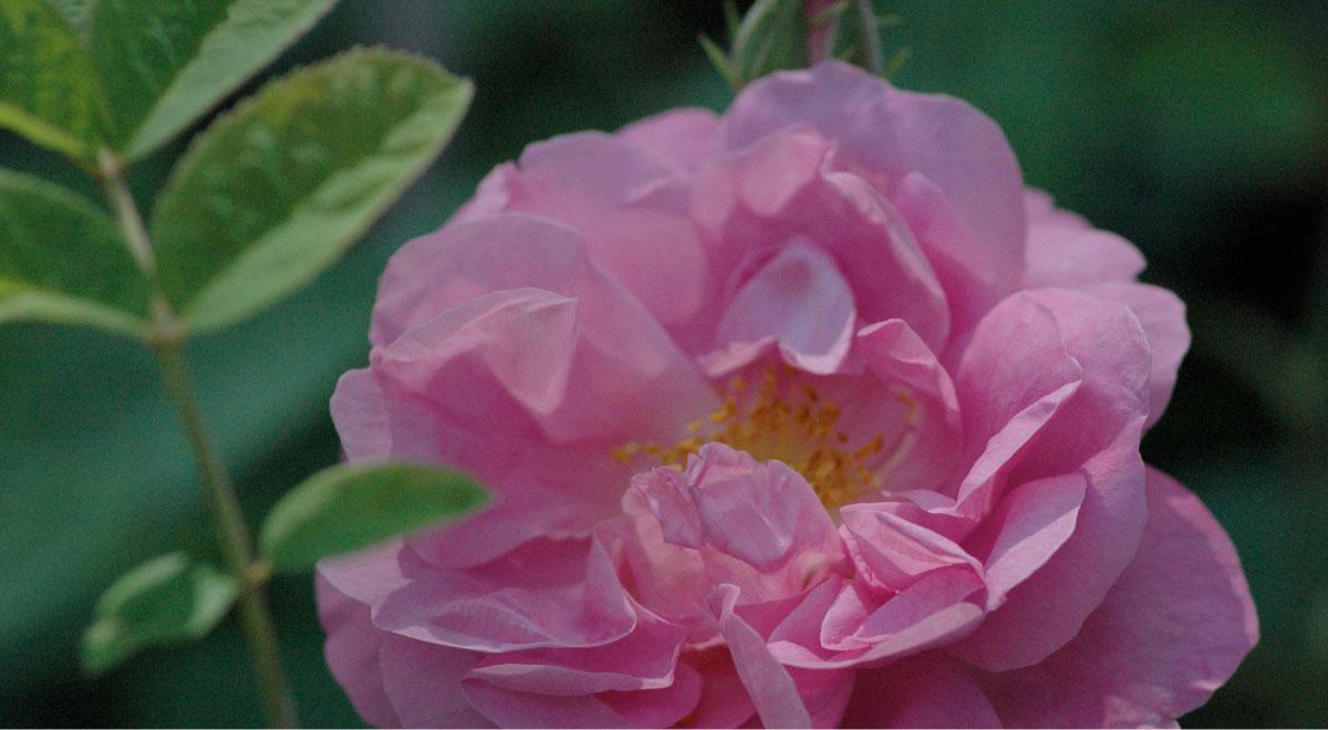 Alte, Historische Rosen