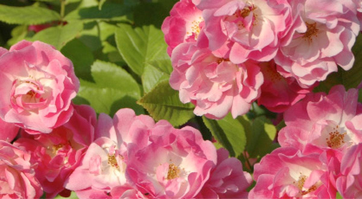 Rosen online kaufen | mehr als 1600 Rosensorten im Rosen ...