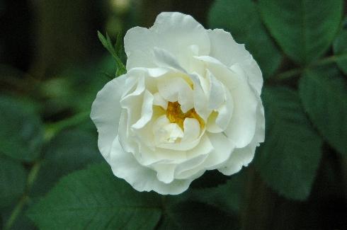 Alba suaveolens - Rosa Alba