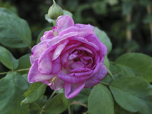 Reine de Violettes - helle Variante - Remontant Rosen