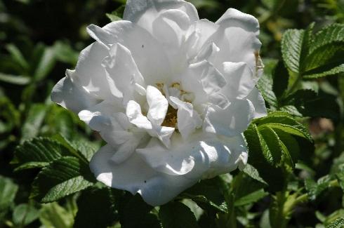 Blanc Double de Coubert - Rosa Rugosa