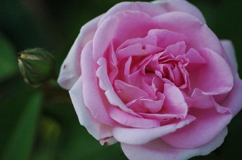 Blairii II - Rosa Borbonica