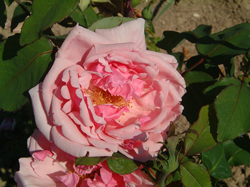 Rose Lady Mary Fitzwilliam