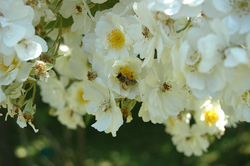 Rambling Rector (Rose)