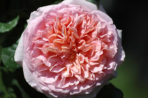 Abraham Darby - Englische Rosen