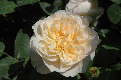 Charity - Englische Rosen