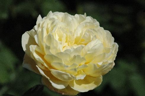 Charlotte - Englische Rosen