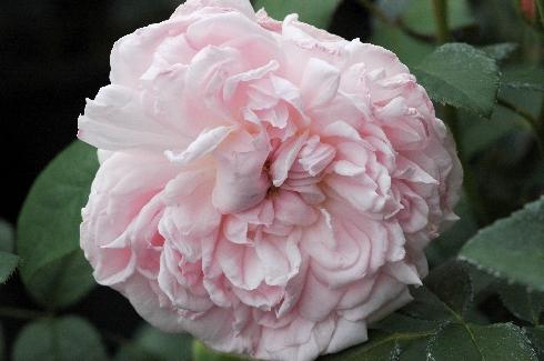 eglantyne englische rosen ab 10 90 rose eglantyne. Black Bedroom Furniture Sets. Home Design Ideas