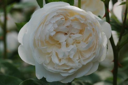 Glamis Castle - Englische Rosen