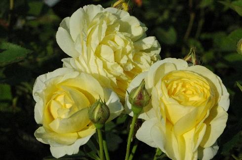 Golden Border - Englische Rosen